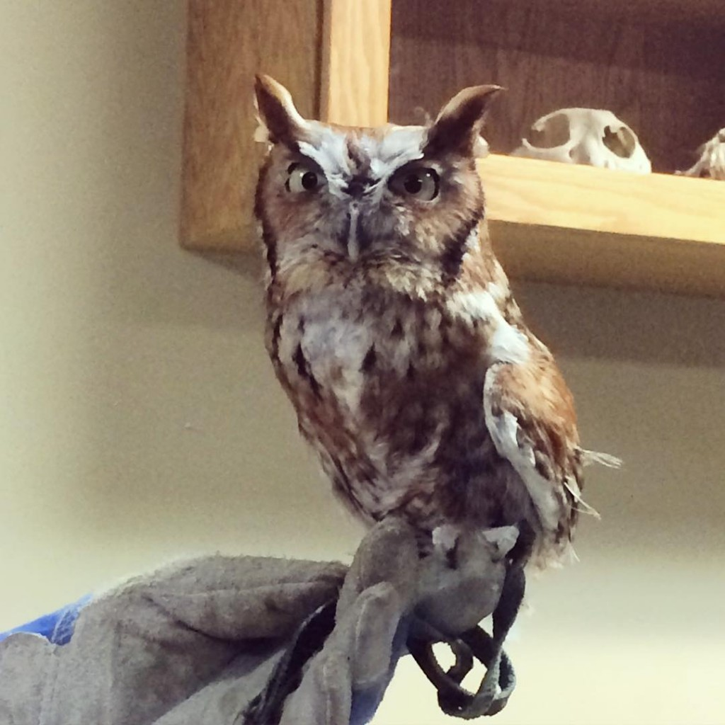 Meet Rufus, an Eastern Screech Owl here at @zooamerica. #ZooAmerica #HersheyPA