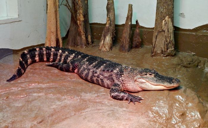 zooamericaalligator