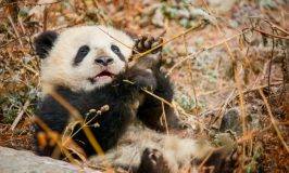 BORN IN CHINA in Theaters Today! ~ #BornInChina #EarthDay
